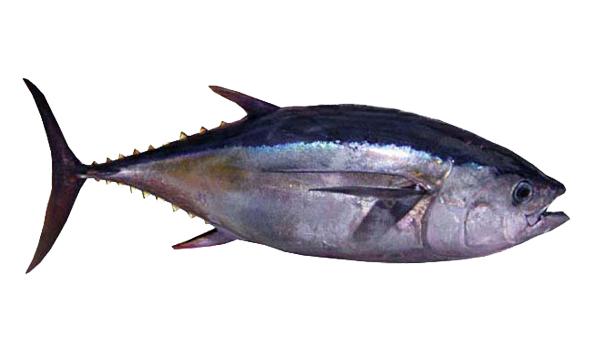 atun-bigeye-scanfisk