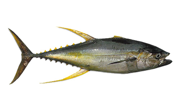 atun-yellowfin-scanfisk