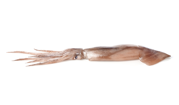 calamar-scanfisk