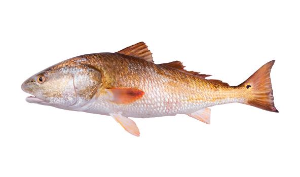 corvina-scanfisk