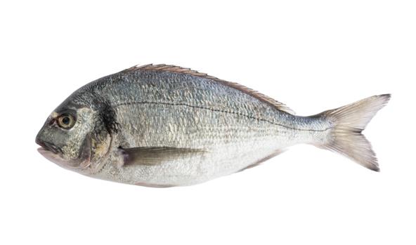 dorada-scanfisk