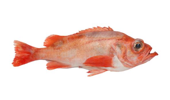 gallineta-scanfisk