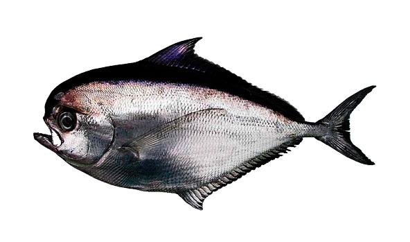 palometa-scanfisk