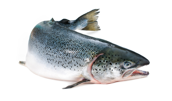 salmon-scanfisk